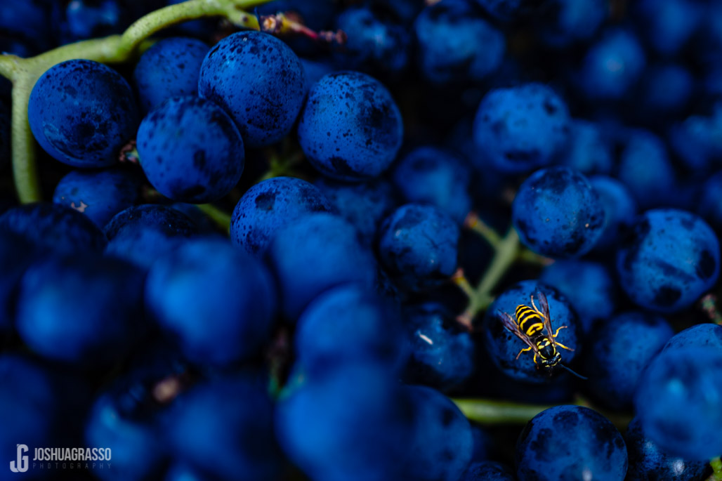 accent cellars dahlonega grapes with bee