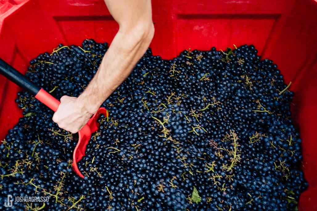 accent cellars dahlonega grapes for crush